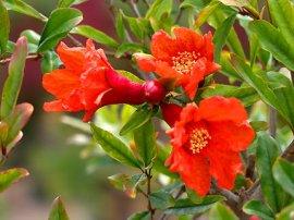 pomegranate_blossom